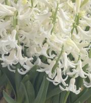 Hyacinth White Festival