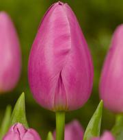 Tulip Pink Twist
