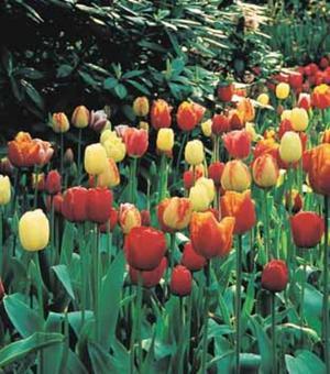 Tulip Darwin Hybrid Mixture
