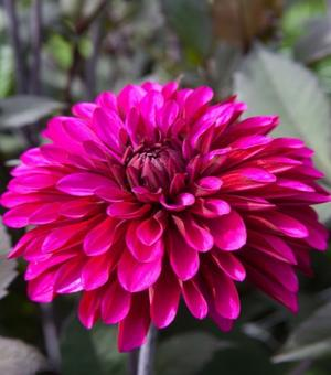 Dahlia Purple Flame