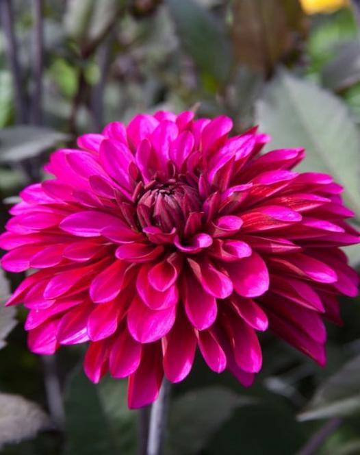 Dahlia Purple Flame