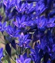 Triteleia Corrina (Brodiaea)