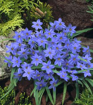 Ipheion Jessie