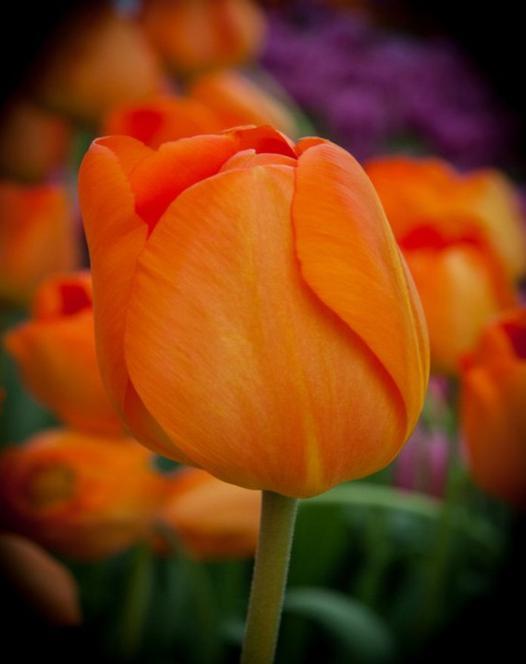 Tulip Lighting Sun