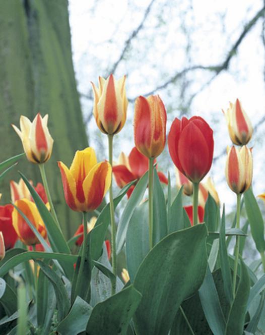 Tulip Kaufmanniana and Greigii Mixture