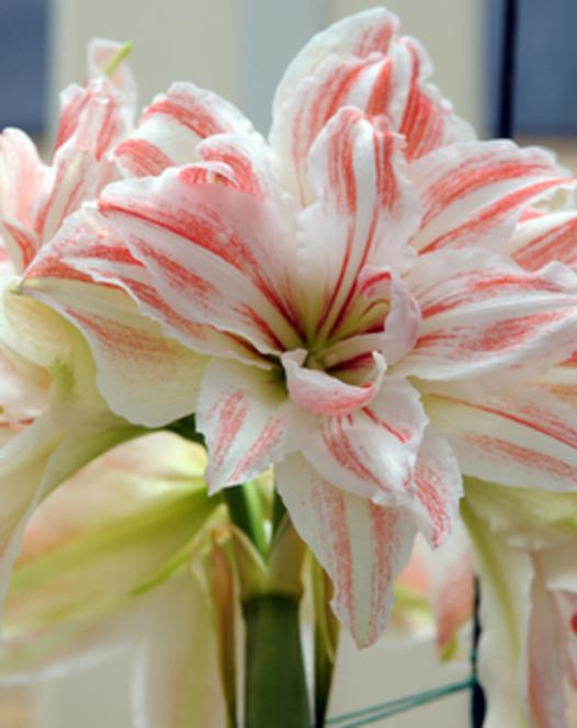Amaryllis Dancing Queen ®