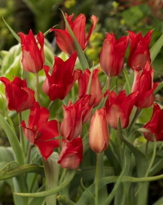 Tulip Praestans