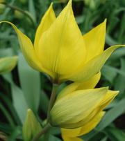 Tulip Sylvestris (The Wild Tulip)