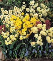Miniature Daffodils & Narcissus Mixture