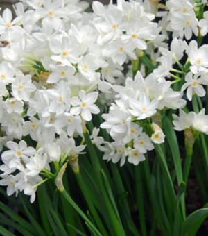 Indoor Flowering Narcissus Paperwhite Ziva