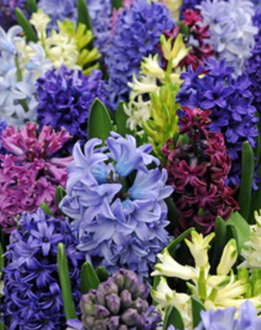 Hyacinth Mixture