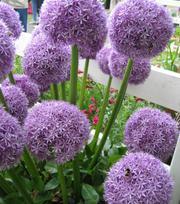 Allium Globemaster ®