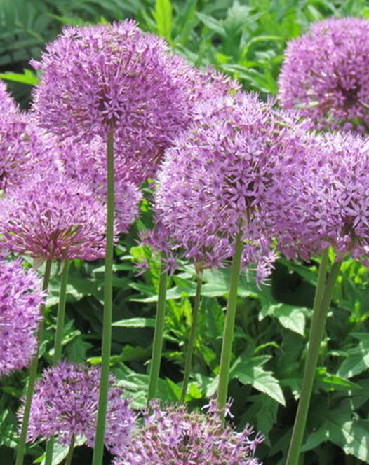 alliums autumn planting bulbs plants and more. Black Bedroom Furniture Sets. Home Design Ideas