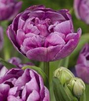Tulip Double Dazzle ®