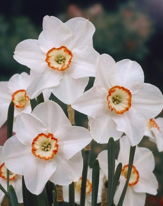 Narcissus Tommy's White