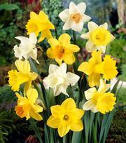 Trumpet Daffodil Mix