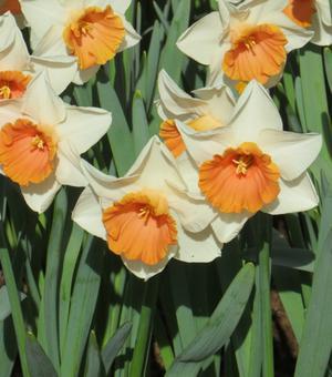 Narcissus Tromba Rosa