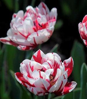 Tulip Carnaval de Nice