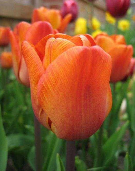 Tulip Cairo ®