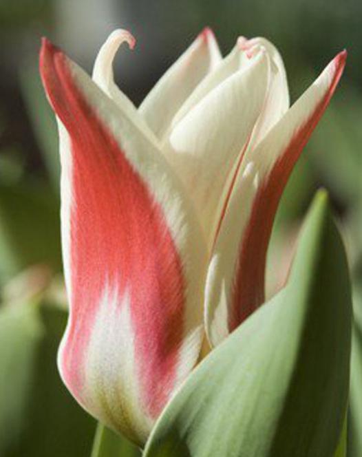 Tulip Ancilla