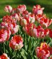 Tulip Apricot Parrot