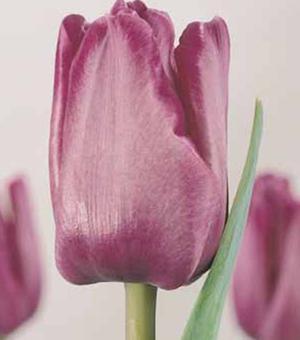Tulip Bleu Aimable