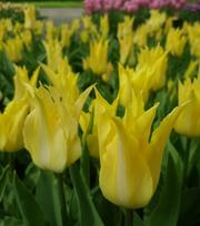 Tulip Florijn Chic