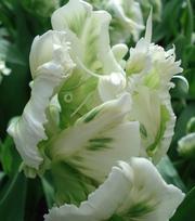 Tulip Super Parrot ®