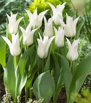 Tulip Tres Chic