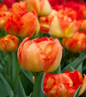 Tulip Monte Orange