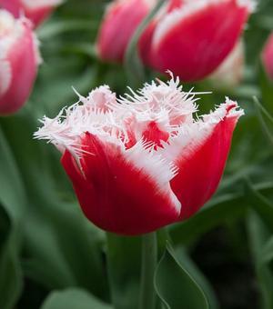 Tulip New Santa