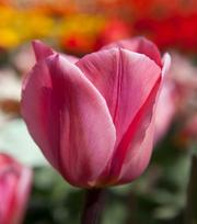 Tulip Albert Heijn ®