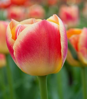 Tulip Candy Corner