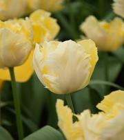 Tulip Crème Lizard