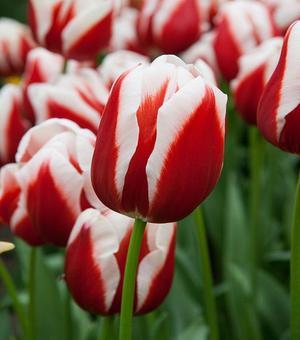 Tulip Toyota