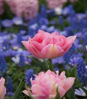 Tulip Peach Blossom