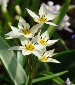 Pictured Tulipa Turkestanica