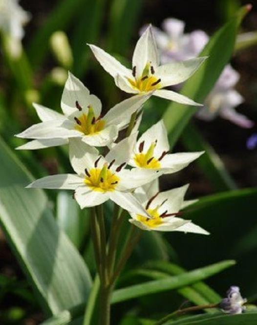 "Pictured <a href=""/turkestanica.html"">Tulipa Turkestanica</a>"
