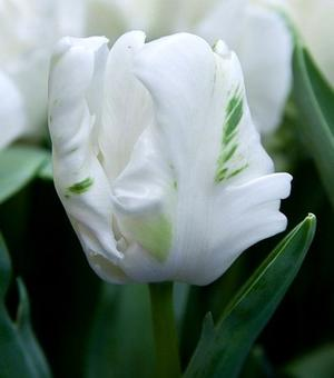 Tulip White Rebel
