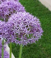 Allium Violet Beauty (Stipitatum)
