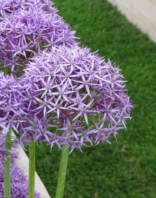 Allium Violet Beauty