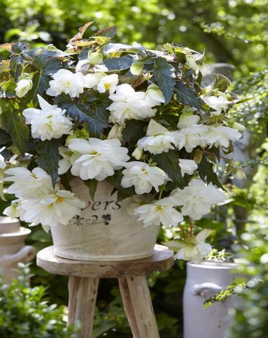 Begonia Illumination White ®
