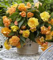 Begonia Illumination Apricot ®