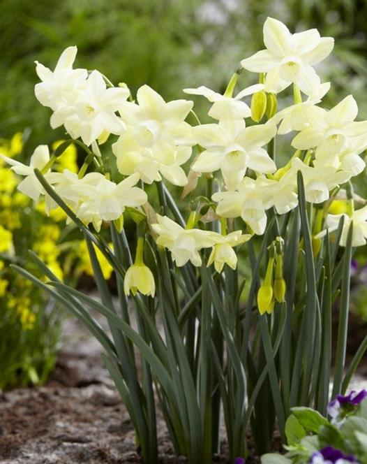 Narcissus Moonlight Sensation