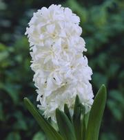 Hyacinth Double Madame Sophie