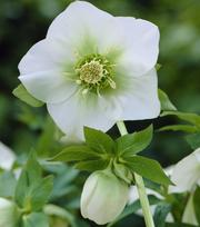 Helleborus White Lady