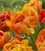 Tulip Sun Lover