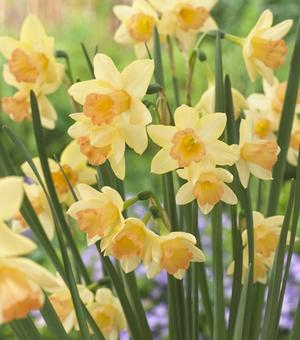 Narcissus Blushing Lady