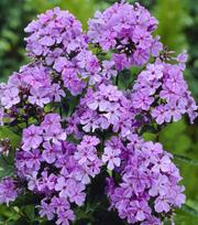 Phlox Blue Boy