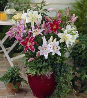 Lilium Oriental Collection